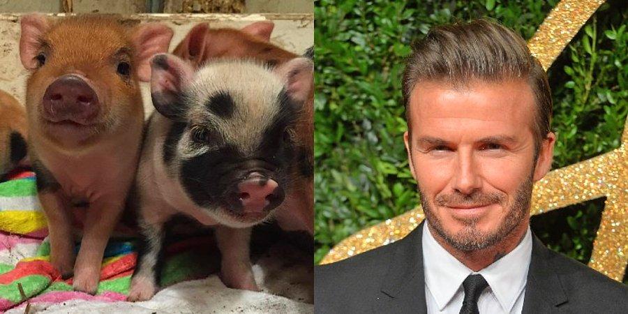 David Beckham's Micro Pigs   8 Weirdest Celebrity Pets   InstantHub